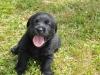 Zwarte Labrador Retriever puppie voor het eerst buiten
