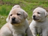 Beige Labrador pups voor het eerst buiten 1 juli 2013