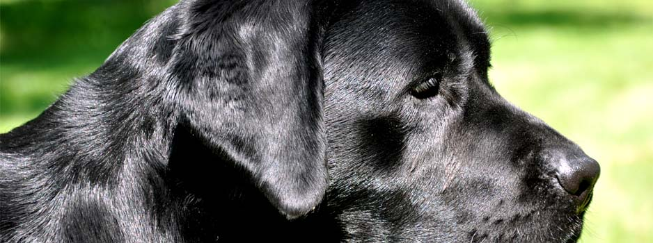Katinka Yochiver, moeder Labrador Retriever pups 1 juni 2013