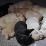Foto van de puppies van Tinka Yochiver en Jayncourt Starman