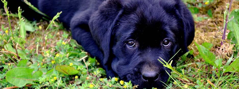 Labrador Retriever pup uit nestje Grace Yochiver en Yunwu 2011