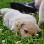 Beige labrador pup