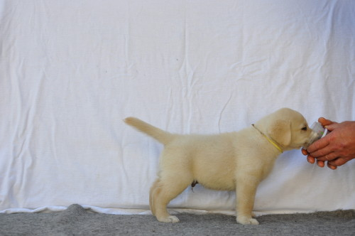 beige labradorreutje pup