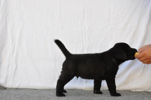 Zwarte reu, labrador pup