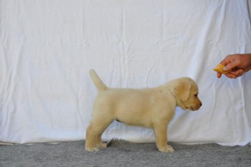 beige labradorteefje pup