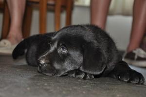 zwart labradorteefje pup