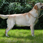 Ruby, beige labrador teef bij Labradors Yochiver