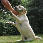Yellow Labrador Retriever from Yochiver in Belgium loves to play