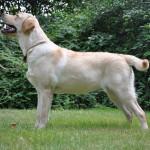 Beige Labrador Retriever teef