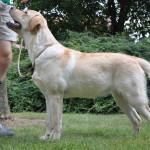 Yellow Labrador Retriever Bitch, Belgium