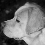 Labrador Retriever beige