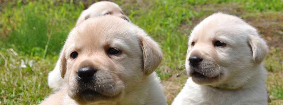 Beige labrador puppies van Tinka Yochiver, gekweekt door fokkers Rita en Etienne van Labradors Yochiver in België