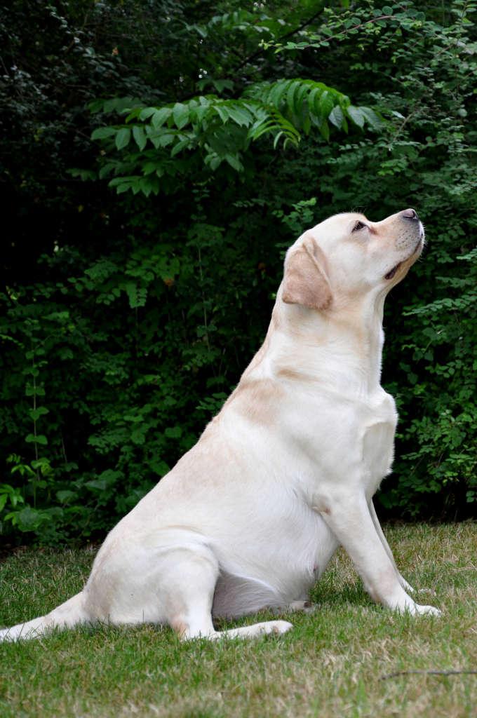 Noxa, beige labradorteefje van de Yochiverkennel in België