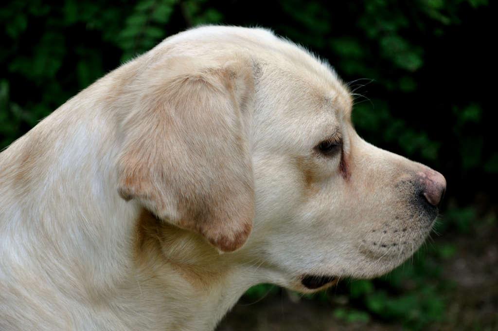 Blog Archive Noxa, beige Labrador Retriever, verwacht pups: foto\'s