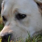Missy Yochiver, beige labradorteefje gefokt door Labradors Yochiver in België
