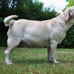 Noxa, beige labradorteef van Yochiver