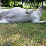 Noxa, een beige labradorteef van fokker Labradors Yochiver in België