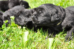 14 day old labrador puppies enjoying some sun outside