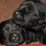 Labrador Puppy from breeder Yochiver in Belgium