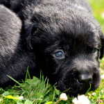 Labrador Puppy Yochiver