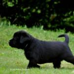 Black Labrador Puppy 36 days old