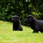 Labradors Yochiver Zwarte Puppy