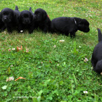 Labrador puppies 29 days old