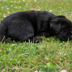 Labradors puppy zwart Yochiver 29 dagen oud