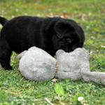 Labrador puppies 29 days old