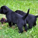 Labrador pup 42 dagen oud, Labradors Yochiver