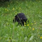 Labrador puppy at Labradors Yochiver 42 days old