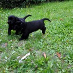 Labrador puppy at Labradors Yochiver 42 days old
