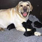 Zwarte labrador puppies geboren op 5 juli bij Labradors Yochiver