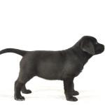 Nelly Yochiver zwart Labrador Retriever Teefje