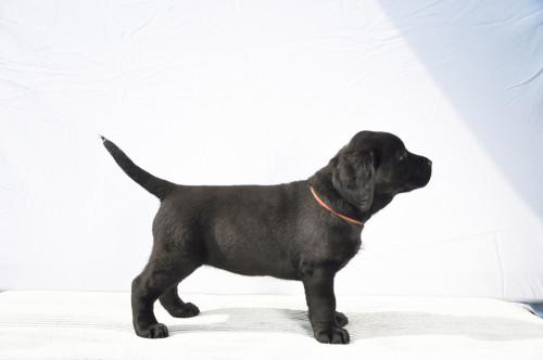Nika Yochiver Zwart Labrador Retriever teefje