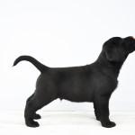 Nox Zwart Labrador Retriever Reutje