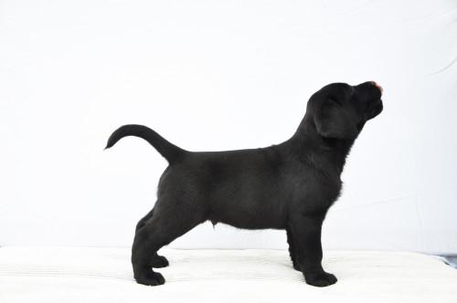 Nox Yochiver Zwart Labrador Retriever Reutje