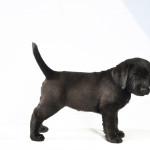 Nucha Yochiver Zwart Labrador Retriever Teefje