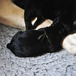 Zwarte labrador puppie geboren op 5 juli bij Labradors Yochiver