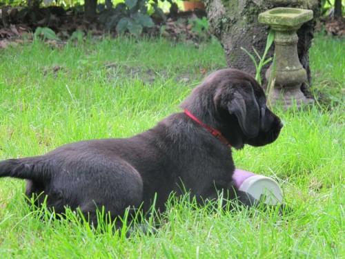 Zwart Labradorteefje Nucha Yochiver