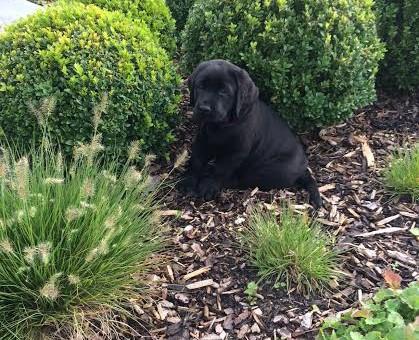 Nika Yochiver is een zwart teefje gekweekt door Labradors Yochiver