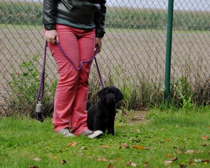 Noë Yochiver zwart teefje puppy Labradors Yochiver