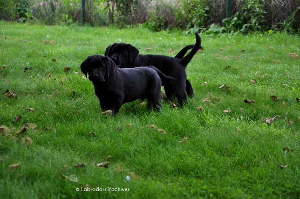 Labradorpups Labradors Yochiver Noxa en Robin