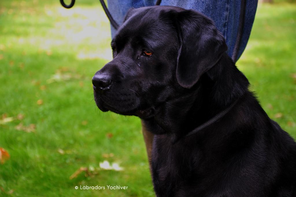 Katinka Yochiver zwarte Labrador Retriever