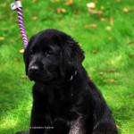 Labrador Pups Labradors Yochiver Noxa & Robin