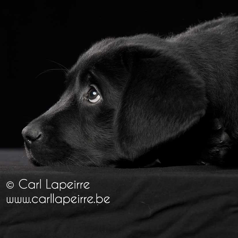 Neymar Yochiver, zwarte labrador reu pup