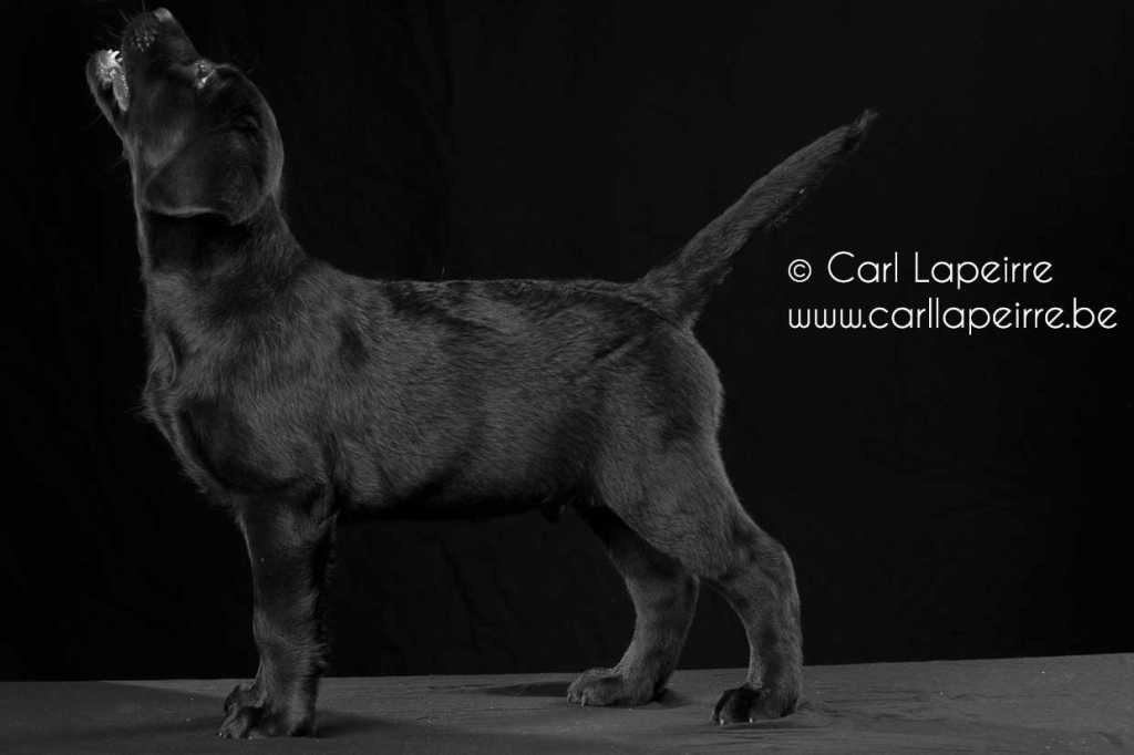 Neymar Yochiver, zwarte labrador reu pupje