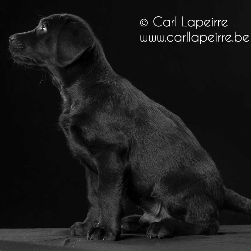 Neymar Yochiver, zwarte labrador reu puppie