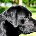 Tinka, zwart Labrador teefje van Labrador Retriever fokker uit België Labradors Yochiver