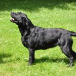 Tinka Yochiver, zwarte Labrador teef